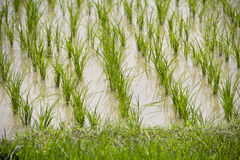 Rice farm Royalty Free Stock Photos