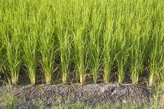 Rice farm. Beautiful Rice farm in the iran country Stock Image