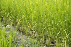 Rice farm. Beautiful Rice farm in the iran country Royalty Free Stock Images