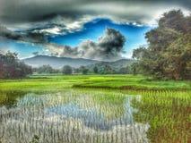 Rice farm. In beautiful nature Stock Photo