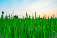 Rice Farm beautiful nature. Green Rice Farm beautiful nature Royalty Free Stock Image