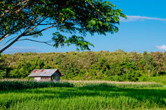 Rice farm with blue sky. And tree Royalty Free Stock Images