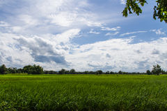 Rice farm. With bright sky Stock Image