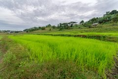 Rice farm at Capas. Tarac, Philippines Royalty Free Stock Images
