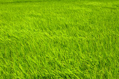 Rice farm in country Royalty Free Stock Photography