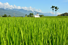 Rice farm in country Royalty Free Stock Photo