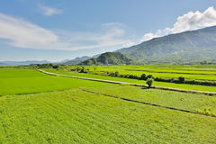Rice farm in country Stock Image