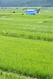Rice farm in country Royalty Free Stock Images