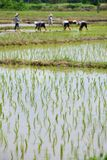 Rice in farm and farmer working planting. Of Thailand sountheast asia Royalty Free Stock Images
