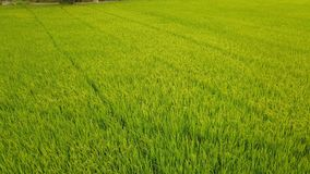 Rice Farm field which beautiful green color from rice plant. And view from top Royalty Free Stock Photos