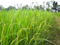 Rice farm Royalty Free Stock Image