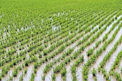 Rice farm. Full of water in green rice field at the beginning of crop season Royalty Free Stock Images