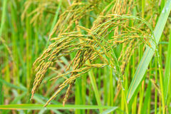 Rice in farm Royalty Free Stock Image