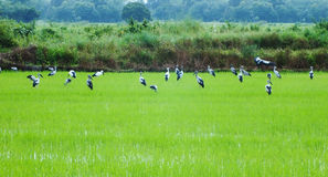 Rice farm in asian Royalty Free Stock Photography