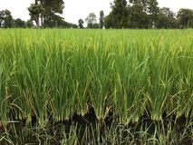 Rice farm. Green rice field planted to Thailand. Rice fields planted in good terrain are perfect. Rice farm in Thailand Stock Photo