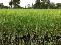 Rice farm. stock photo