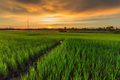 Rice farm. Rice, green and golden sky Stock Image