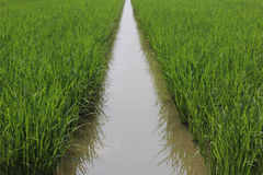 The rice farm. Green rice farm with some water Royalty Free Stock Photography