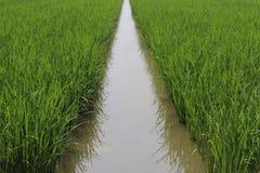 The rice farm Royalty Free Stock Photography
