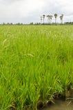 Rice farm Stock Photography