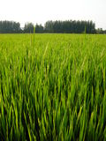 Rice farm Stock Photos