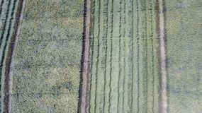 Rice farm on harvesting season by farmer with combine harvesters. And tractor on Rice field plantation pattern. photo by drone from bird eye view in countryside royalty free stock image