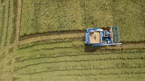 Rice farm on harvesting season by farmer with combine harvesters. And tractor on Rice field plantation pattern. photo by drone from bird eye view in countryside stock photo