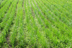 Rice farm. Head rice plant a row, fresh green and growing Stock Images