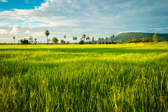 Rice farm Stock Photo