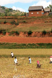 Rice farm in Madagascar Stock Photography