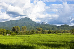Rice farm in mountain background Royalty Free Stock Image