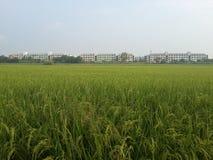 Rice farm near the towm Stock Image