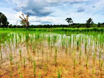 Rice farm Stock Photography