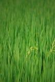 Rice Farm [Paddy] Royalty Free Stock Photos