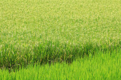 Rice Farm [Paddy] Royalty Free Stock Images