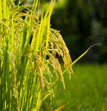 Rice in the farm Stock Images