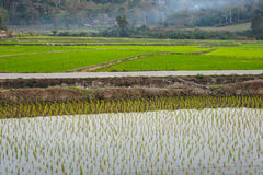 Rice farm. Stock Images