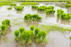 Rice farm. Rice sprout ready to growing in the rice field Royalty Free Stock Images