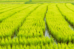 Rice farm. Rice sprout ready to growing in the rice field Stock Photography