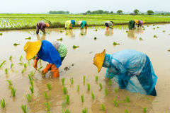Rice farm. Rice sprout ready to growing in the rice field Royalty Free Stock Photography