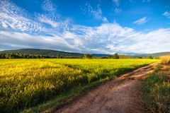 Rice farm at sunset. Beautiful rice farm with rough road in countryside of Thailand Royalty Free Stock Photos