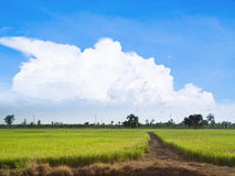 Rice farm. In thailand with cloud Royalty Free Stock Photography