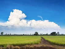Rice farm. From thailand with dramatic cloud Stock Photography