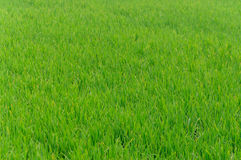 Rice farm use for background. Green Stock Image