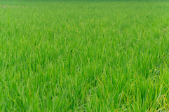 Rice farm use for background. Green Royalty Free Stock Photos