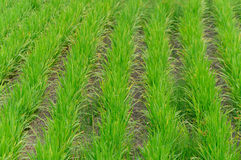Rice farm use for background. Green line Stock Photography
