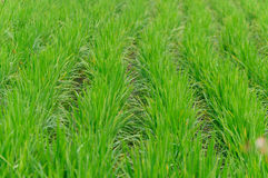 Rice farm use for background. Green line Royalty Free Stock Image