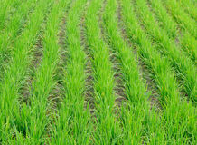Rice farm use for background. Green line Royalty Free Stock Photography