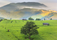 Rice farm view Royalty Free Stock Image