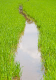 Rice farm in the water Stock Photo